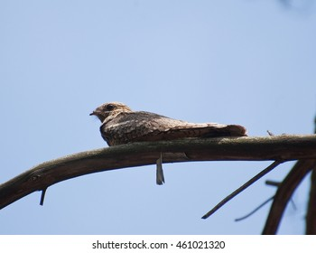 Young nightjar sitting on a branch in a pine forest in Western Siberia