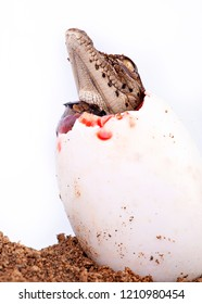 A young nile crocodile hatching from egg, white background, in studio, isolated, copyspace
