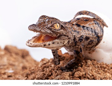A young nile crocodile hatching from egg, in studio, white background
