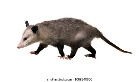 Young North American opossum (Didelphis virginiana) goes on a white background. Isolated