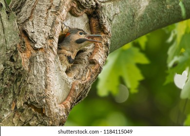A young Northern Flicker looks out of a nest cavity in a tree calling to be fed. Also known as a Gaffer Woodpecker, Harry-wicket, and Gawker Bird. Rosetta McClain Gardens, Toronto, Ontario, Canada.