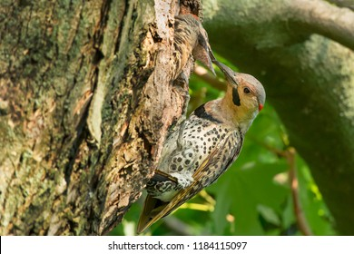 A young Northern Flicker looks out of a nest cavity being fed by its parent. Also known as a Gaffer Woodpecker, Harry-wicket, and Gawker Bird. Rosetta McClain Gardens, Toronto, Ontario, Canada.