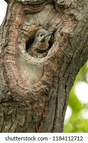 A young Northern Flicker pokes its head out of a nest cavity in a tree. Also known as a Gaffer Woodpecker, Harry-wicket, and Gawker Bird. Rosetta McClain Gardens, Toronto, Ontario, Canada.