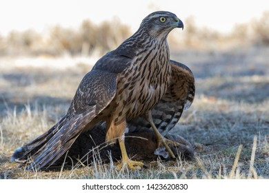 Young northern goshawk, Accipiter gentilis, feeding on a rabbit on the ground. Spain