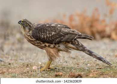Young northern goshawk, Accipiter gentilis, perched on the ground. Spain