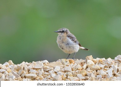 Young Northern Wheatear (Oenanthe oenanthe) in JUNE
