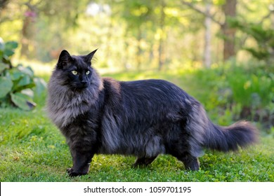 Young Norwegian forest cat male standing in a garden