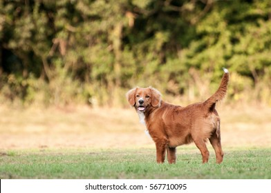 Young Nova Scotia Duck tolling Retriever