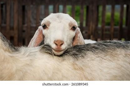 Young nubian goat