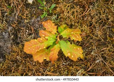 Young oak leaves.