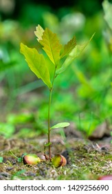 a young oak sprout sprouting from an acorn close-up on a blurred green background.