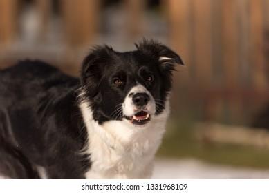 Young Obedient Border collie dog. Head Portrait
