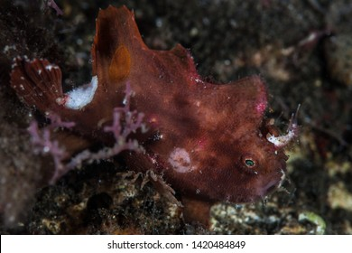 A young Ocellated frogfish, Antennarius sp., hunts for prey in Indonesia. Frogfish use camouflage to mimic common marine life such as sponges. Indonesia is home to amazing marine biodiversity.