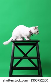 The young odd-eyes cat on the green screen.
