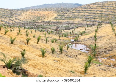 Young oil palm trees planted on cleared land