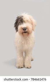 Young old english sheepdog standing on a grey background