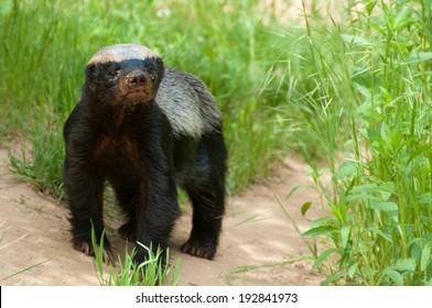 Young old Honey Badger closeup