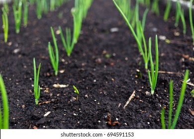 Young onion in the ground