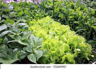 Young onion, lettuce, onions, rucola, beans and beets, in vegetable permaculture cultivation. Eco-friendly backyard garden, vegetable garden.