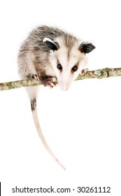 Young opossum balanced on branch on white background