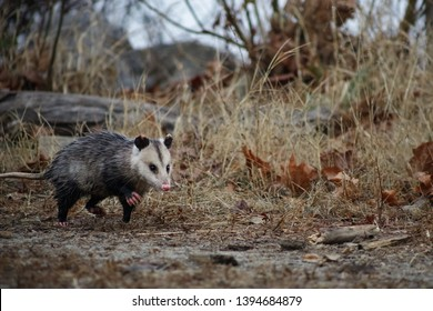 Young opossum (Didelphimorphia) running through forest in Occoquan Bay National Wildlife Refuge