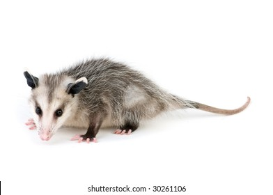 Young opossum on white background