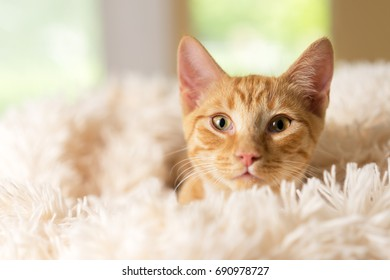 Young orange kitten cat feline peeking out of soft white blanket looking pampered happy curious luxurious at home soft comfortable happy sweet friendly alert watching waiting while making eye contact