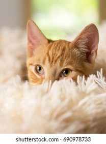 Young orange kitten cat feline peeking out of soft white blanket looking pampered happy curious luxurious at home soft mischievous happy sweet friendly alert watching waiting while making eye contact