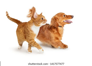 Young orange and white tabby cat lifting paw and extending leg to walk to sidee