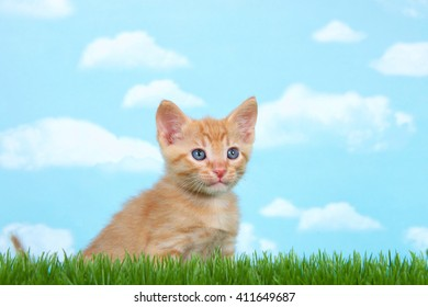 young orange and white tabby kitten in tall grass with blue background with clouds looking forward slightly to side.