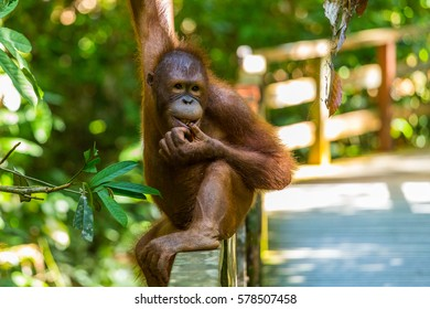 Young Orangutan eating, Borneo