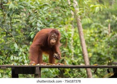 Young orangutan at feeding station at Tanjung Puting national park, Indonesia.