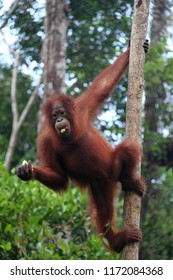 young orangutan hanging on the tree at Tanjung Puting National Park, Central Boreno, Indonesia.