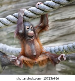 A young orangutan is ready for low catch. Cute and cuddly cub with cheerful expression. Careless childhood of little great ape. Human like primate.