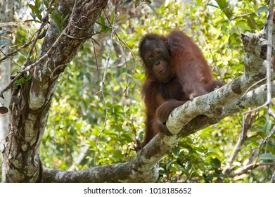 Young orangutan rests on a branch, as he waits his turn at the feeding station, at Tanjung Puting National Park, Kalimantan, Indonesia. A large male, already at the station must finish first.