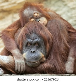 A young orangutan is sleeping on its mother. Sweet orangutan family portrait. Wild beauty of a human-like monkey.