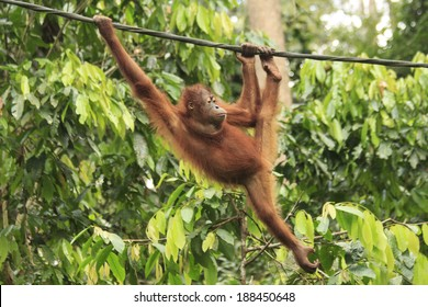 Young Orangutan swinging on rope