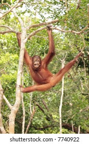 Young Orang-Utan swinging through trees