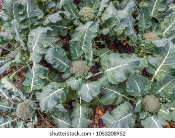 Young organic broccoli vegetables growing