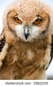 Young Owl with evil stare