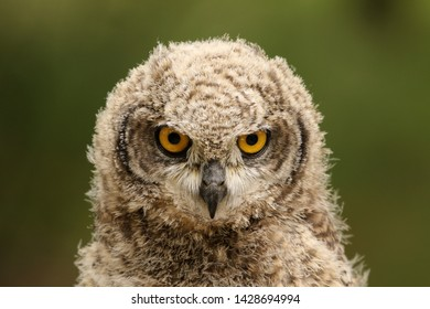 Young owl looking