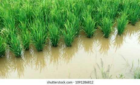 Young paddy tree on the paddy filed