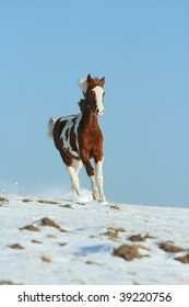 Young paint horse running