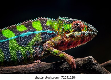 A young panther chameleon resting after lunch