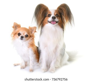 young papillon dog and chihuahua in front of white background