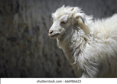 Young Pashmina Goat.