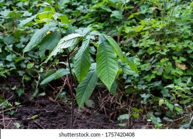 young paw paw tree (Asimina triloba)