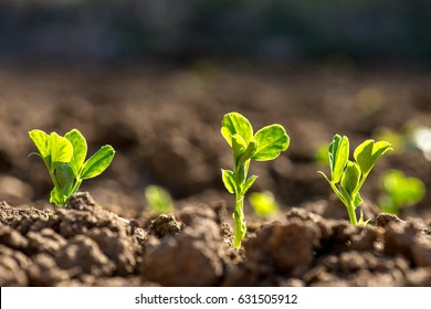 Young pea plants in early spring garden - selective focus, copy spsce
