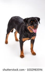 Young pedigree dog, white background. Adorable young rottweiler dog isolated on white background, studio shot. Muscular domestic security.