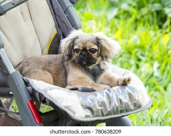 Young pekingese dog outdoors sitting in baby stroller on green summer grass background.